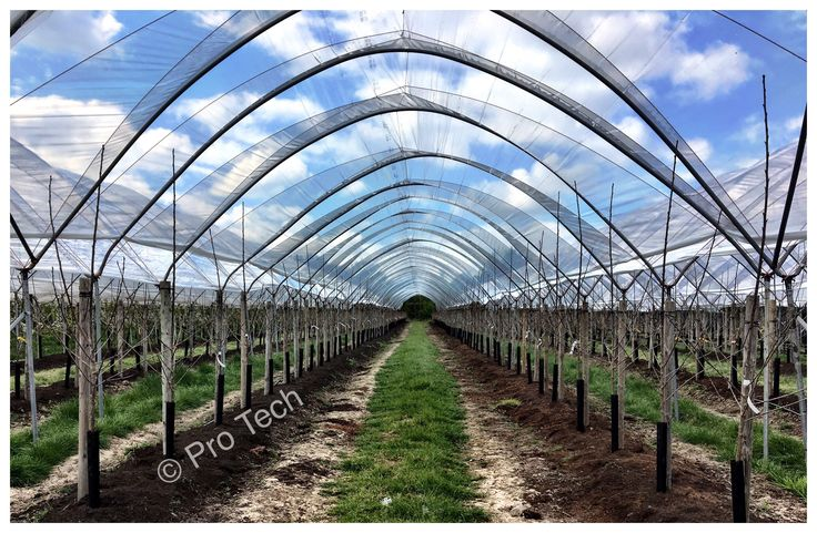 Agricultural polythene for cherries polytunnels . www.pro-tech-marketing.co.uk  Location: Staffordshire   #polythene #cherries #polytunnels #farming #frostprotection #rainprotection