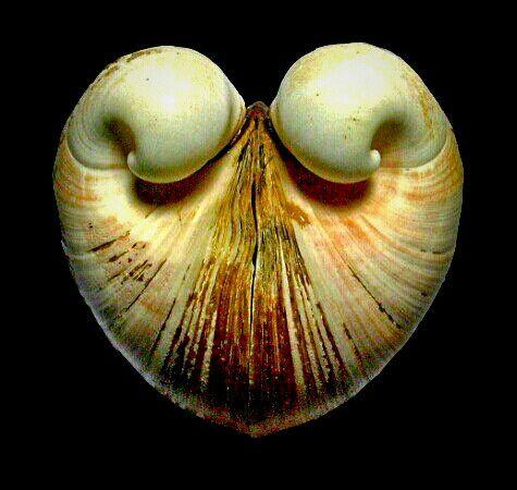 Ox heart clam
