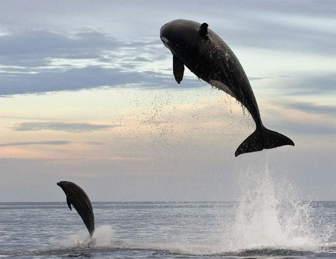 4. В погоне за дельфином эта косатка выпрыгнула на 5 м из воды...