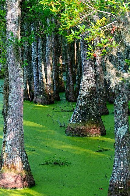 Magnolia Plantation Swamp Garden, Charleston, South Carolina; photo by Eve Lane