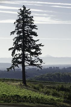 FIR TREE on Pinterest   Firs, Tree Silhouette and Silhouette