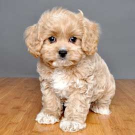 Designer breeds ... Some if these are so stinking cute!