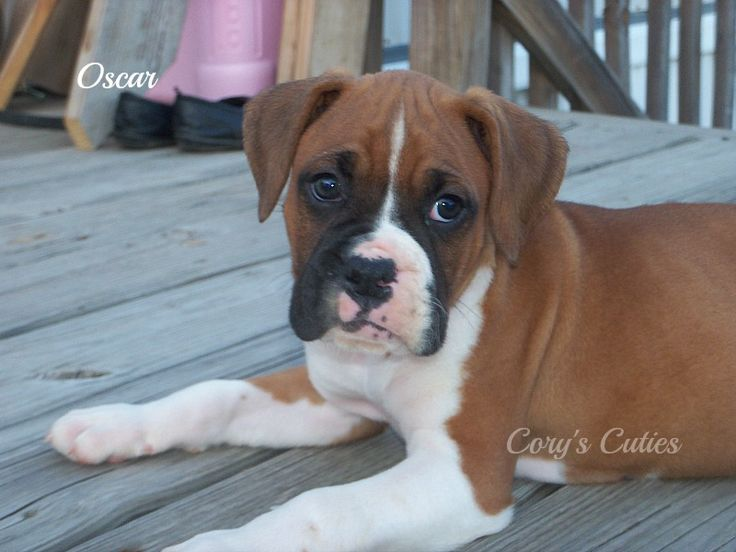 Boxer puppy for sale in ELKLAND, MO. ADN26534 on