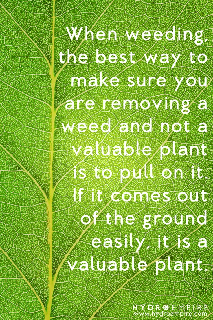 1000 images about weeds and how to get rid of them organically on pinterest gardens. Black Bedroom Furniture Sets. Home Design Ideas