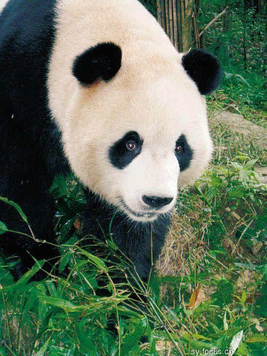 """ภาพ: หมีแพนด้าในช่วงปลายปีนี้, 7 ปีมังกรที่จะจมหรือ """"บริสุทธิ์"""" - Shunde Garden - เสิ่นหยาง Sohu เน้นเจ้าของฟอรั่ม"""