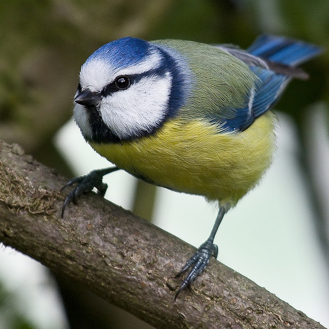 Blue tit - pimpelmees - cinciarella by webted, via Flickr
