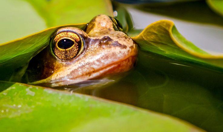 Ein kleiner Freund im Gartenteich  A little friend in the garden pond