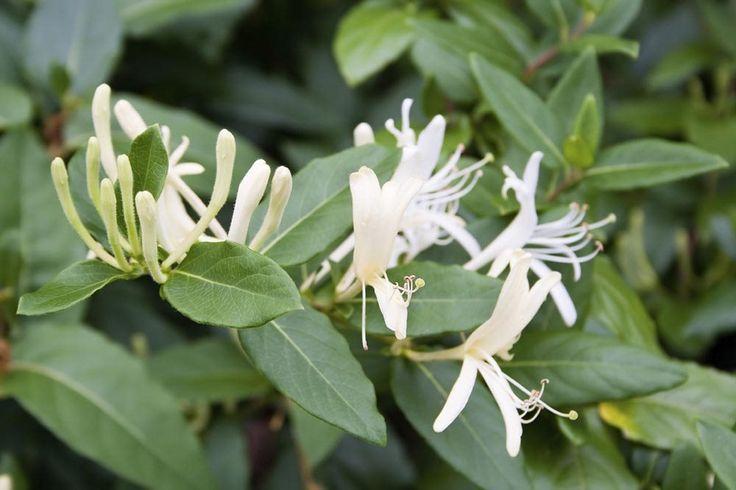 Kaprifolie er en populær slyngplante til pergolaer, stakitter og hegn, pga. duften og den hurtige vækst.