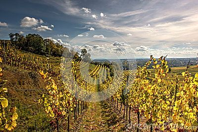Cloudy sky with rows of vineyards.
