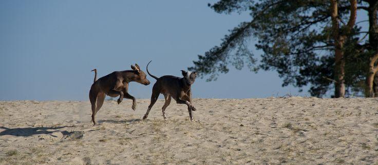 Sari chasing Naqui - Peruvian Hairless Dog. Playful dogs at the sand dunes of Soesterduinen, The Netherlands.