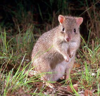 Northern bettong (Bettongia tropica) é uma espécie de marsupial da família Potoroidae. Endêmico da Austrália, onde está restrito as florestas tropicais de Queensland.