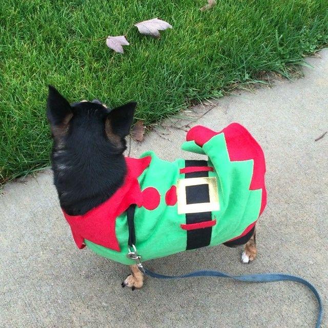 Santa's new helper! #BrunoChihuahua Bruno e o mais novo ajudante de Papai Noel! #chihuahua #pet #petlover #petstagram #dog #dogsofinstagram #christmas #santaclaus #natal