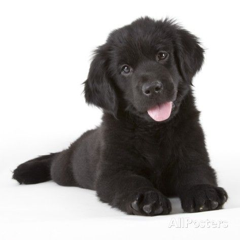 Newfoundland puppy by Michael Kloth. Photographic Print from AllPosters.com, $24.99