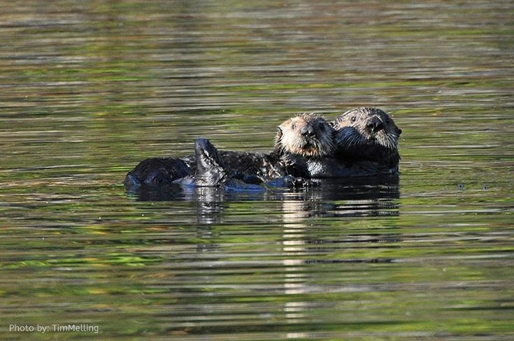 Cute little otters to be found on the Island