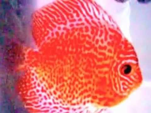 Discus red melon,leopard by rudy wijaya