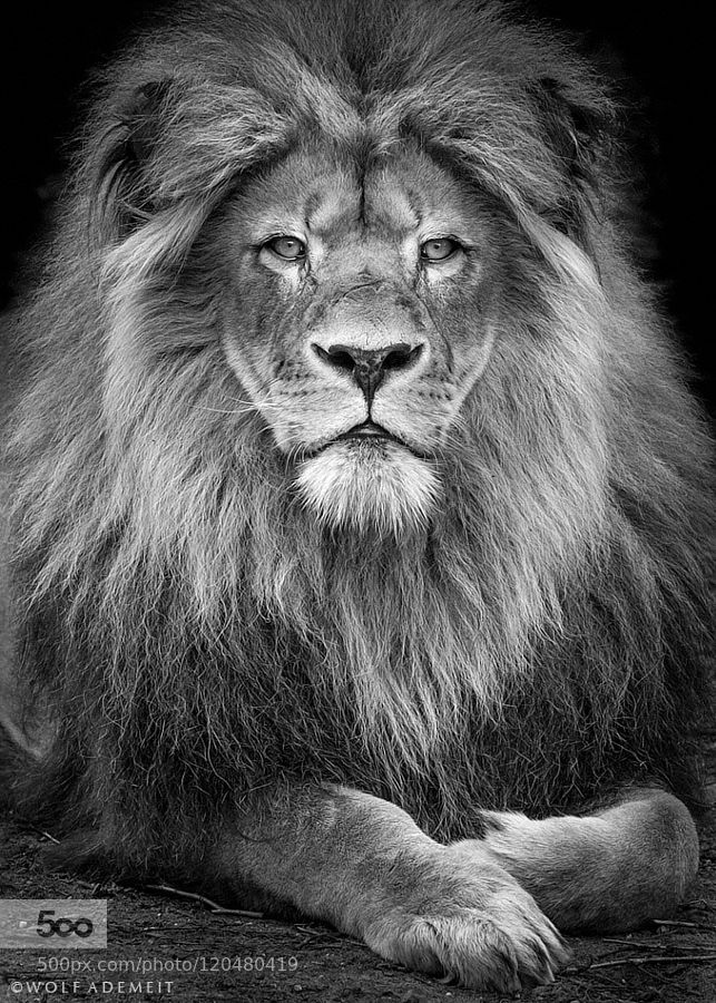 male lion portrait by WolfAdemeit. Please Like http://fb.me/go4photos and Follow @go4fotos Thank You. :-)