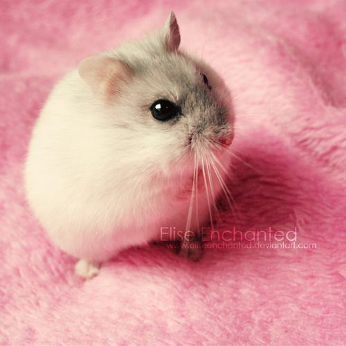 white dwarf hamsters with red eyes - photo #27