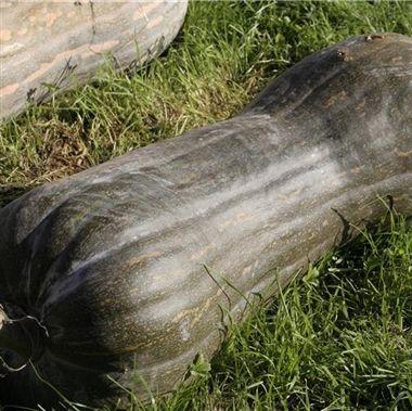 COURGE MUSQUEE PLEINE DE NAPLES AB - La courge Pleine de Naples est coureuse et tardive.  Elle offre de 1 à 4 fruits par pied, de 18 à 30 cm de diamètre, sur 60 à 80 cm de long, 10 à 25 kg.  Chair jaune orangé, ferme, musquée, parfumée, d'excellente qualité. Très bonne conservation.   Utilisations : A consommer en tourte, purée, potage, ratatouille, confiture.