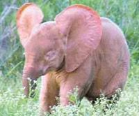 """A rare baby albino elephant was born in Kenya's Amboseli National Park earlier in December 2011. The baby elephant has a white tail and body hair, pale skin, and very pink ears. Albino elephants are usually not """"white"""", but instead they have more of a reddish-brown hue, turning a light pink when wet. Albino elephants are an extremely rare phenomenon in Africa, while in Asia they are thought to be not that unusual."""