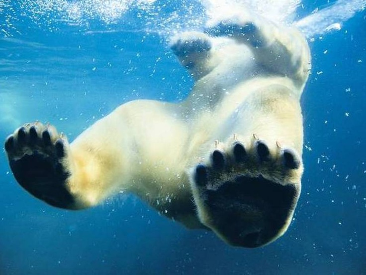 21 Best Images About Bears Underwater On Pinterest