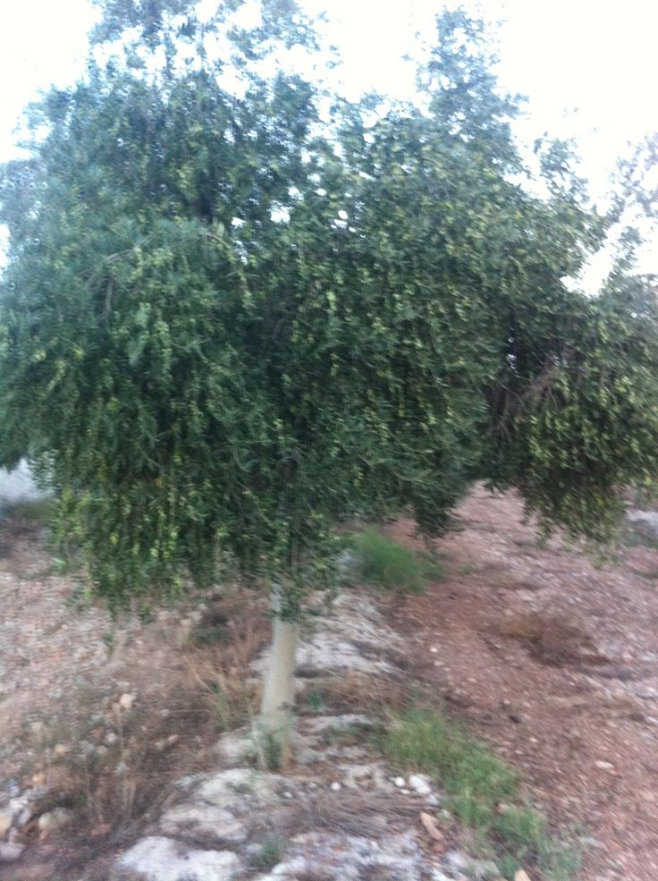 The trees full of olives