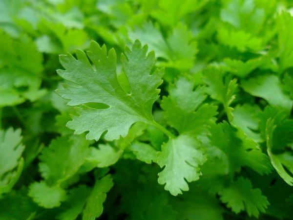 Como plantar salsa em casa. A salsa é uma erva aromática muito utilizada na cozinha e embora seja fácil de encontrar em lojas e supermercados, nada melhor do que cultivarmos esta erva para a ter sempre disponível em casa. A noss...