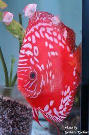 Resultado de imagen para pinterest peces de colores #tropicalfishaquariumideas