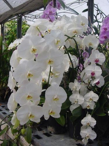 Orchidée blanche ou phalaenopsis