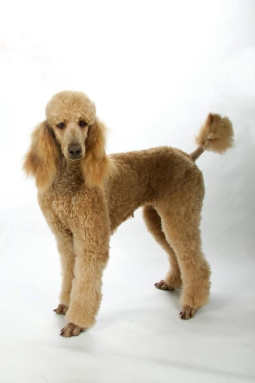 194 best images about Poodle family on Pinterest