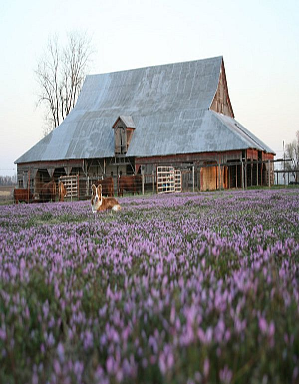 Country Living ~ Dog and barn