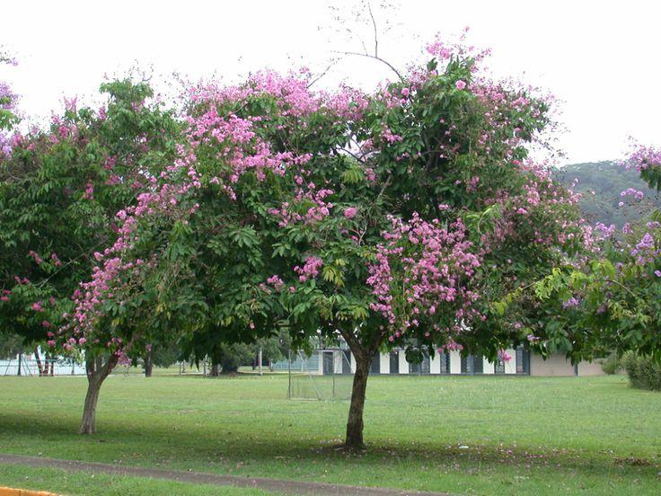 árvore-sombra-crescimento-rápido                              …                                                                                                                                                                                 Mais