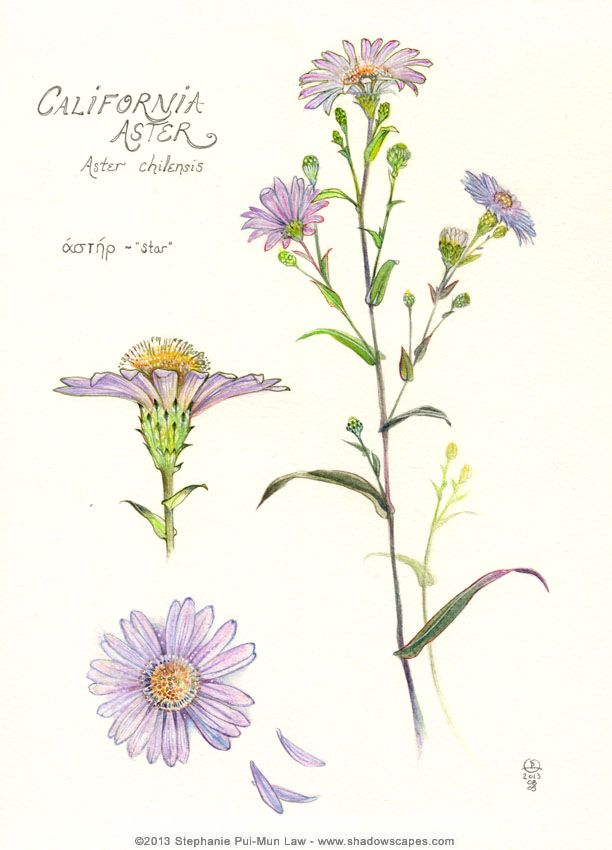 California Aster - http://www.shadowscapes.com - https://www.facebook.com/Shadowscapes