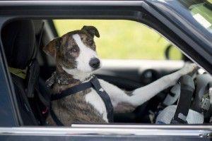 Dierenbescherming leert asielhonden autorijden