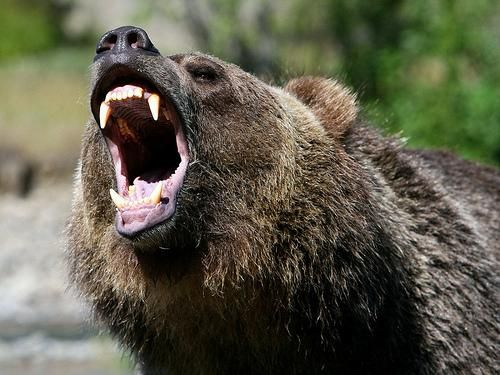The grizzly bear is a truly magnificent animal and one that should demand I respect and admiration. I would be angry as well if people continued to invade my wilderness, continued to hunt me down and continued to disrespect my needs and my place in nature's perfect but delicate balance of things. When will we learn I wonder?