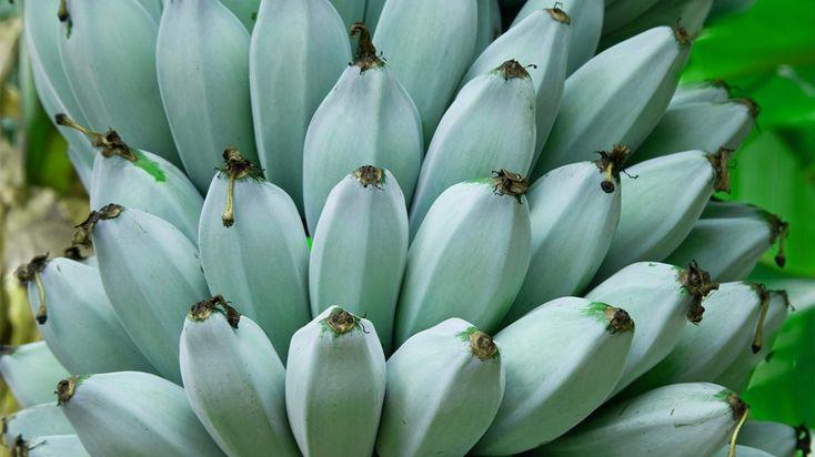Blue Java Bananas Nutrition Benefits And Uses Banana Blue Banana Vanilla Ice Cream