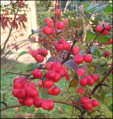 Crabapple Tree/ATTRACTS: Pheasants. Very valuable in Winter. They Will forage beneath.