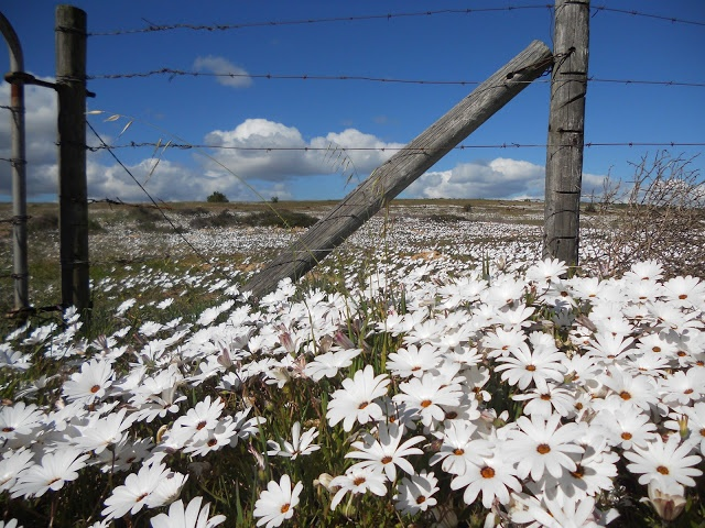 Volunteer with Via Volunteers in South Africa and check out the beautiful West Coast Flowers near Darling, Cape Town.