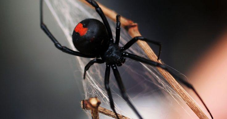 Cómo matar a las arañas viuda negra. Mientras que la mayoría de las arañas tienen colmillos que carecen del poder de perforar tu piel, otras, incluyendo a la viuda negra, son una amenaza para los humanos. Si ves una araña de media pulgada (1,27 cm) con un patrón de un reloj de arena rojo en la parte de abajo de su abdomen, estás lidiando con una viuda negra. Tienes que saber qué ...