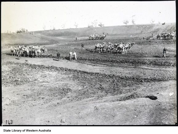 Excavating a dam using camel teams, Coolgardie 1910-1919?