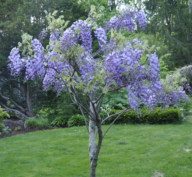 Growing with plants: HOW TO GROW AND TRAIN A WISTERIA TREE