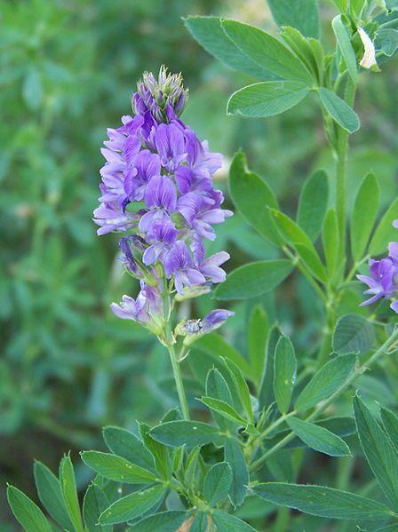 L'alfalfa, l'une des plus riches sources minérales connues