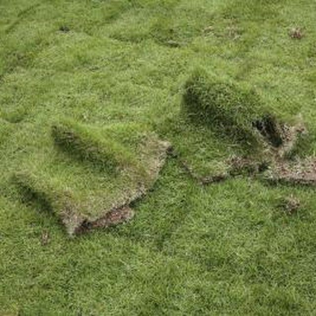 It takes a month or two of careful maintenance for sod to establish in its new site.