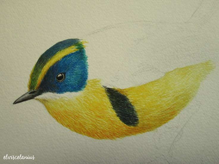 Tachuris Rubrigastra Rubrigastra in process with watercolor by Elviscelanius.