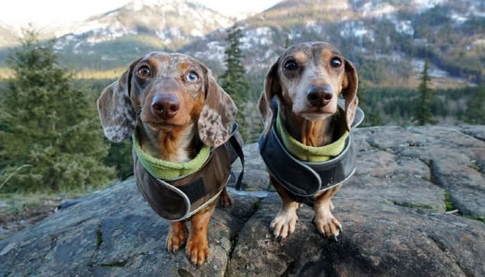 Good Morning With Images Dachshund Dog Dachshund Puppies Puppies