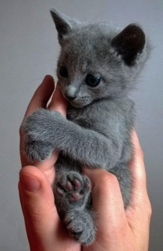 Cute Cats Breeds In India Cute Cats Kijiji Russian Blue Kitten Kittens Cutest Cute Cats