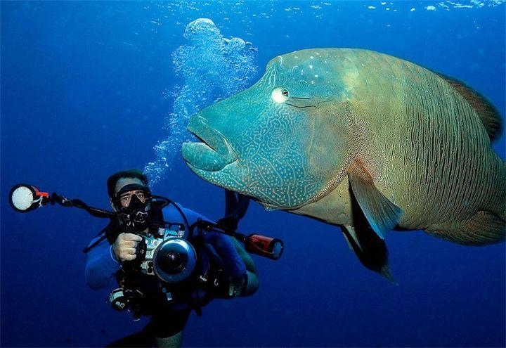 Жители морского мира. Часть 6. Фото 1-2. Рыба Наполеон:Жители морского мира. Часть 6. Наполеон (лат. Cheilinus undulatus, англ. Humphead wrasse) — рыбка, достигающая длины 2.30 м. Распростра...
