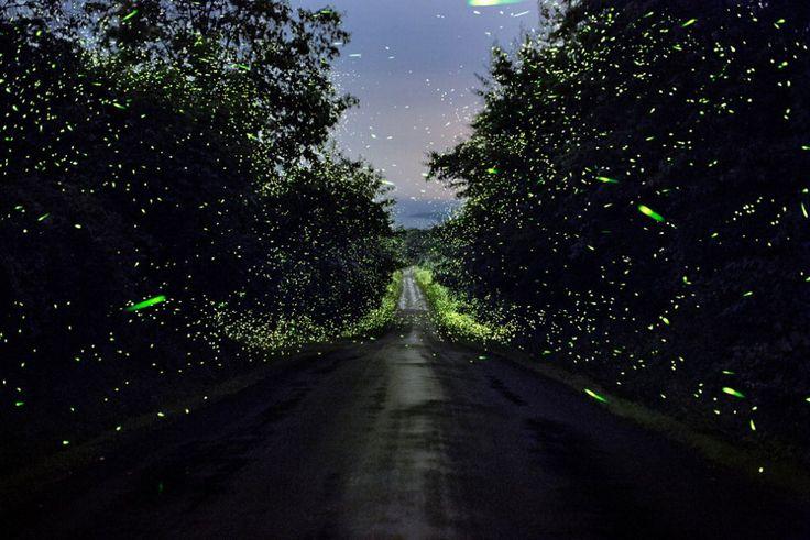 Stati Uniti, a caccia di lucciole nei boschi: bagliori luminosi nell'oscurità