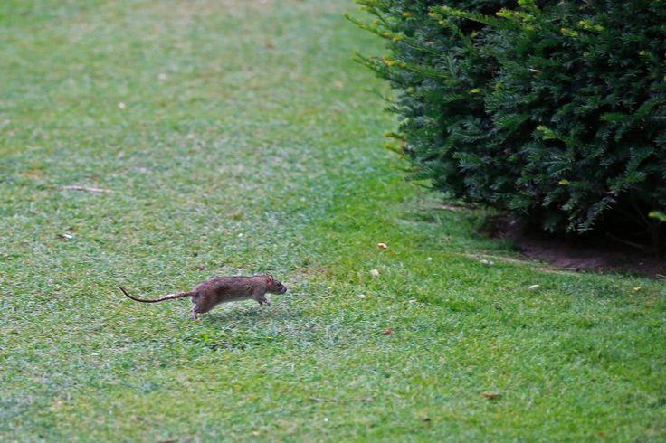 Rattenplage in Paris: Ratatouille ohne Charme