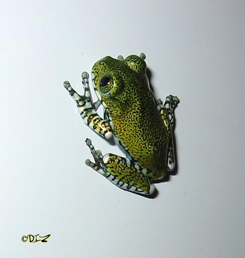 Leptopelis vermiculatus. Big-eyed Tree Frog.