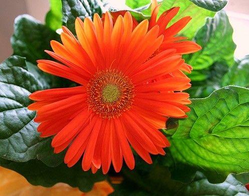 gerber daisy Gerbera jamesonii air purify  Best Air Purifying House Plants.